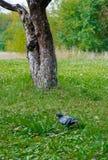 Paloma en el campo de hierba Foto de archivo libre de regalías