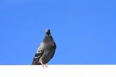 Paloma en el cielo azul Fotografía de archivo