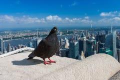 Paloma en el Empire State Building, Nueva York Fotografía de archivo