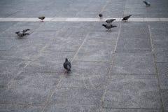 Paloma en el piso Fotos de archivo
