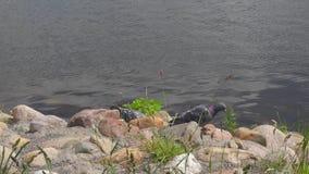 Paloma en el riverbank almacen de video