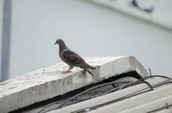 Paloma en el tejado Fotos de archivo