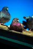 Paloma en el tejado en San Diego imagenes de archivo