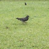 Paloma en fondo de la hierba verde Fotos de archivo