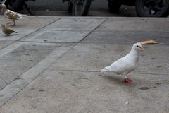 Paloma en la calle Paloma del blanco que camina en la calle Fotografía de archivo