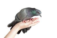 Paloma en la mano Imagen de archivo libre de regalías