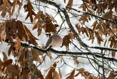 Paloma en la nieve (3) Imagen de archivo libre de regalías