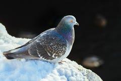 Paloma en la nieve Fotografía de archivo libre de regalías