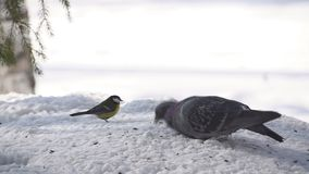Paloma en la nieve en el invierno almacen de video