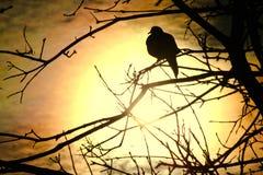 Paloma en la puesta del sol Fotos de archivo libres de regalías