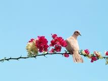 Paloma en la ramificación floreciente Imagen de archivo libre de regalías