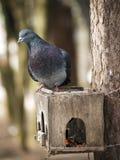 Paloma en nidal Fotos de archivo