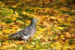 Paloma en otoño Imagen de archivo
