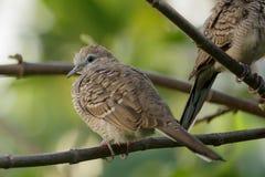 Paloma en un árbol y un x28; eyes& x29 del foco; Imagen de archivo