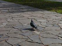 Paloma en un paseo Imagenes de archivo