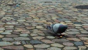 Paloma en un pavimento de piedra encontrado debajo de la envoltura del caramelo y del corte para arriba su comida que se encontra almacen de metraje de vídeo
