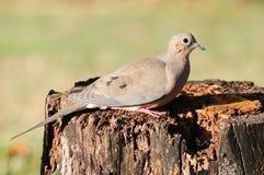 Paloma en un tocón de árbol Imagen de archivo libre de regalías