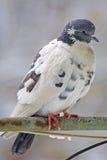 Paloma en una perca Fotografía de archivo libre de regalías