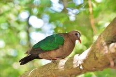 Paloma en una rama de árbol Fotografía de archivo libre de regalías