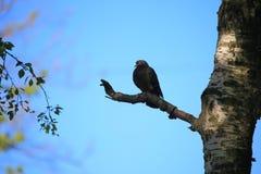 Paloma en una rama seca Fotografía de archivo