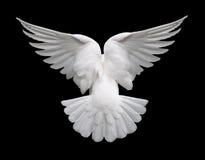 Paloma en vuelo 2 del blanco Foto de archivo libre de regalías
