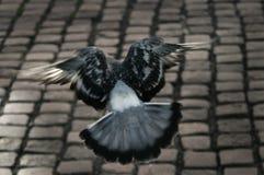 Paloma en vuelo fotografía de archivo