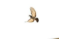 Paloma en vuelo Imagenes de archivo