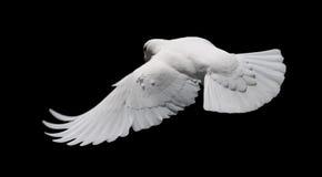 Paloma en vuelo 8. del blanco. Imagen de archivo libre de regalías
