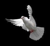 Paloma en vuelo 9 del blanco Foto de archivo libre de regalías