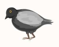 Paloma gris libre illustration