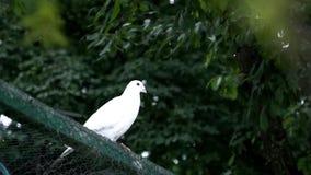 Paloma hermosa del blanco almacen de metraje de vídeo
