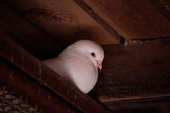 Paloma hermosa del blanco Fotografía de archivo libre de regalías