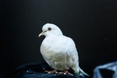 Paloma hermosa del blanco Fotografía de archivo