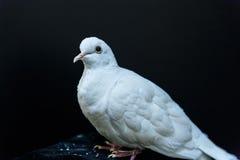 Paloma hermosa del blanco Imagenes de archivo