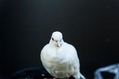 Paloma hermosa del blanco Foto de archivo
