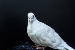 Paloma hermosa del blanco Imagen de archivo libre de regalías