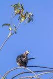 Paloma imperial verde en el parque nacional del walawe de Uda, Sri Lanka Imagenes de archivo