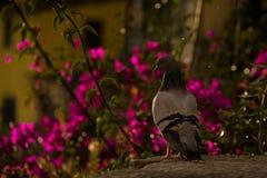 Paloma majestuosa Imagen de archivo