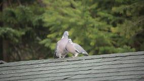 Paloma o paloma/acoplamiento salvajes de Columba Livia metrajes