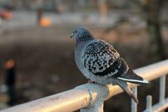 Paloma, pájaros, alas Imágenes de archivo libres de regalías