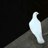 Paloma, pájaros, alas Foto de archivo libre de regalías