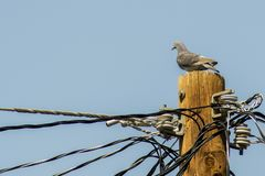 Paloma pigeon is standing on the electric pillar stock image