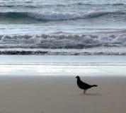 Paloma que camina (paloma) Foto de archivo libre de regalías