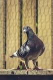 Paloma que compite con dentro de un desván Imagen de archivo