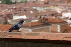 Paloma que mira la ciudad Foto de archivo