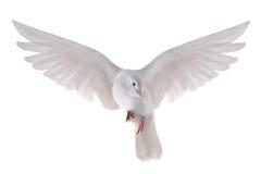 Paloma que vuela Fotografía de archivo libre de regalías