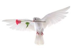 Paloma que vuela Fotografía de archivo