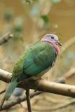 paloma Rosado-dirigida de la fruta Fotografía de archivo libre de regalías