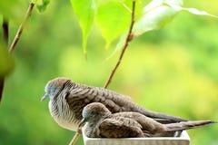 Paloma salvaje de la cebra de la madre y su niño que toman una siesta de lado a lado en un plantador en el jardín del balcón Imágenes de archivo libres de regalías