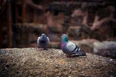 Paloma salvaje linda dos en las ruinas del coliseo Imagen de archivo libre de regalías